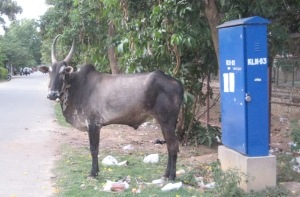 A cow waits for work on a street in Bangalore.